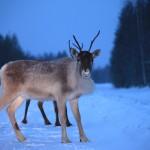 Reindeers on the street