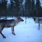 Reindeers by the street